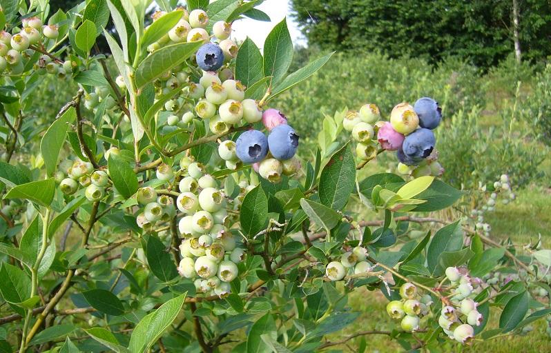 Heidelbeerpflanze im Frühsommer