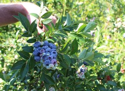 Müllers Heidelbeeren bei Uelzen - Infos über die Pflanze